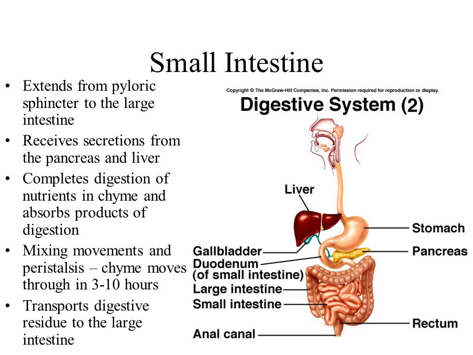 Small Intestine Extends from pyloric sphincter to the large intestine