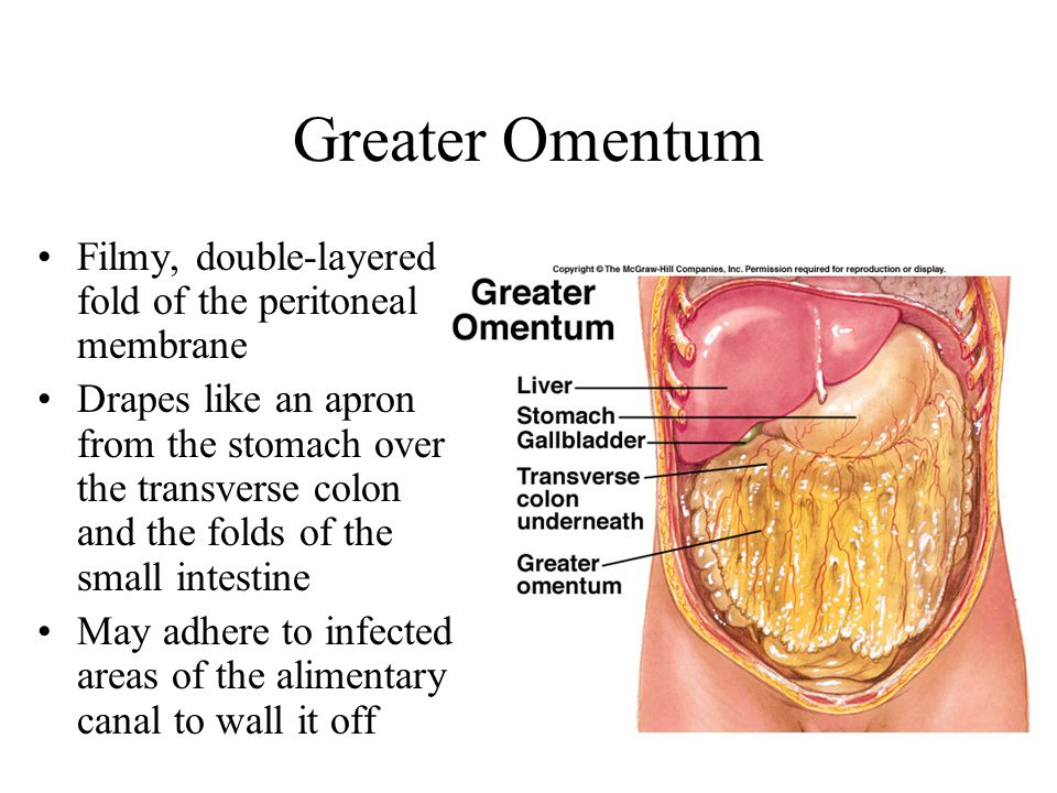 Greater Omentum Filmy, double-layered fold of the peritoneal membrane