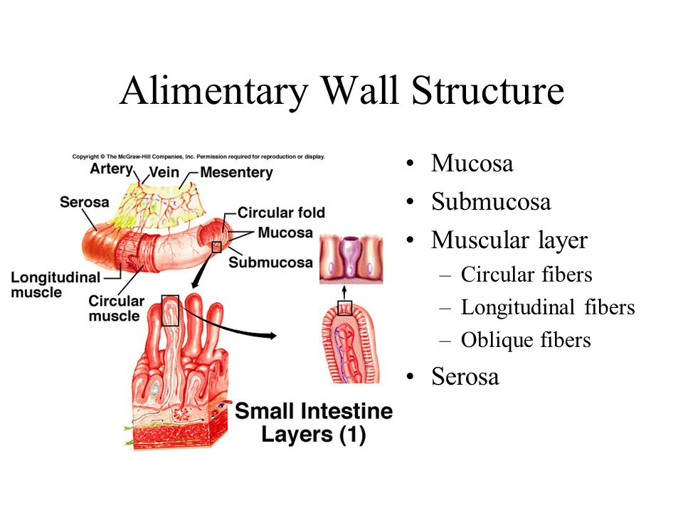 Alimentary Wall Structure