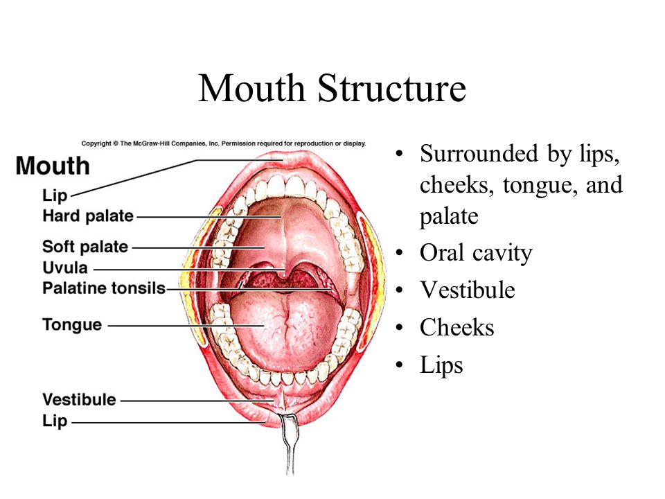Mouth Structure Surrounded by lips, cheeks, tongue, and palate