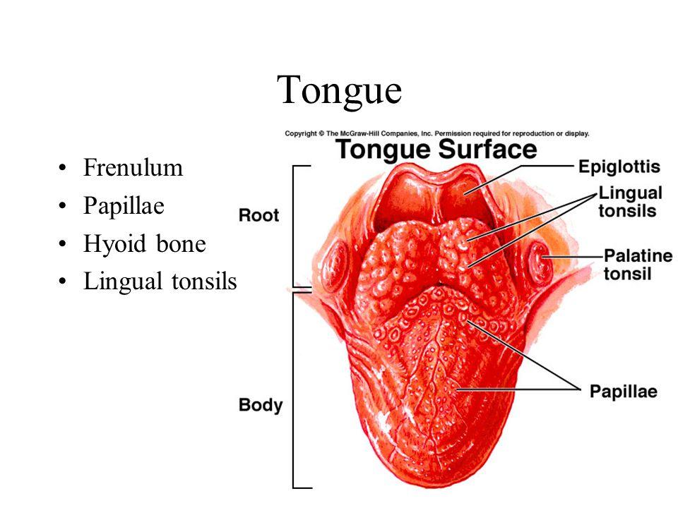 Tongue Frenulum Papillae Hyoid bone Lingual tonsils