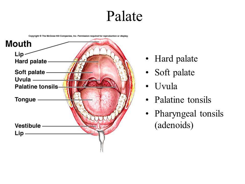Palate Hard palate Soft palate Uvula Palatine tonsils
