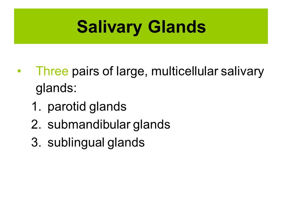 Salivary Glands Three pairs of large, multicellular salivary glands: