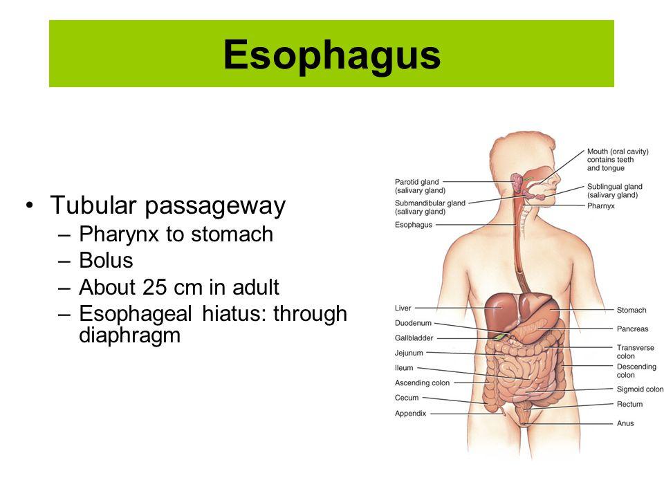 Esophagus Tubular passageway Pharynx to stomach Bolus