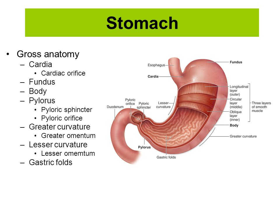 Stomach Gross anatomy Cardia Fundus Body Pylorus Greater curvature