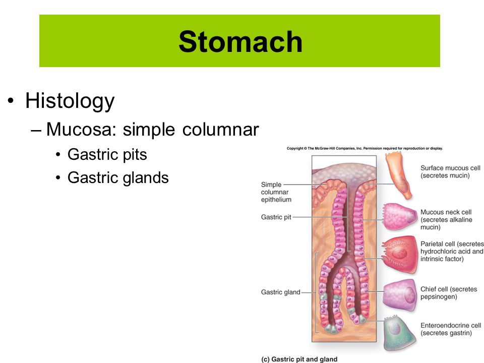 Stomach Histology Mucosa: simple columnar Gastric pits Gastric glands