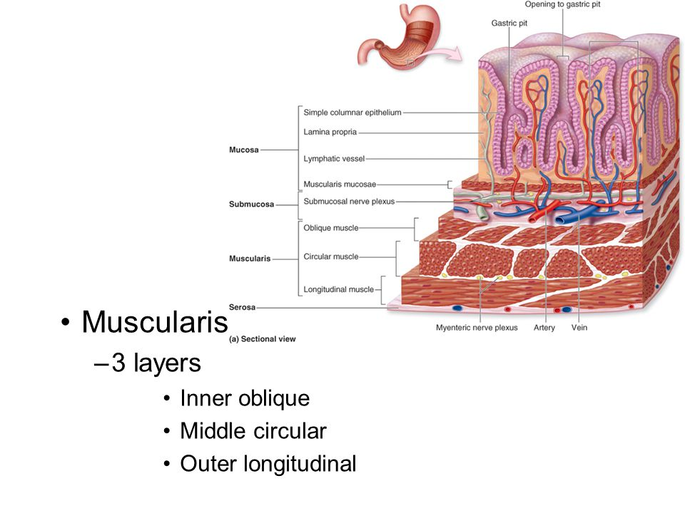 Muscularis 3 layers Inner oblique Middle circular Outer longitudinal