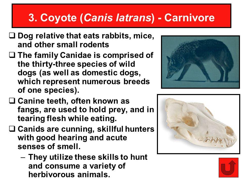 3. Coyote (Canis latrans) - Carnivore