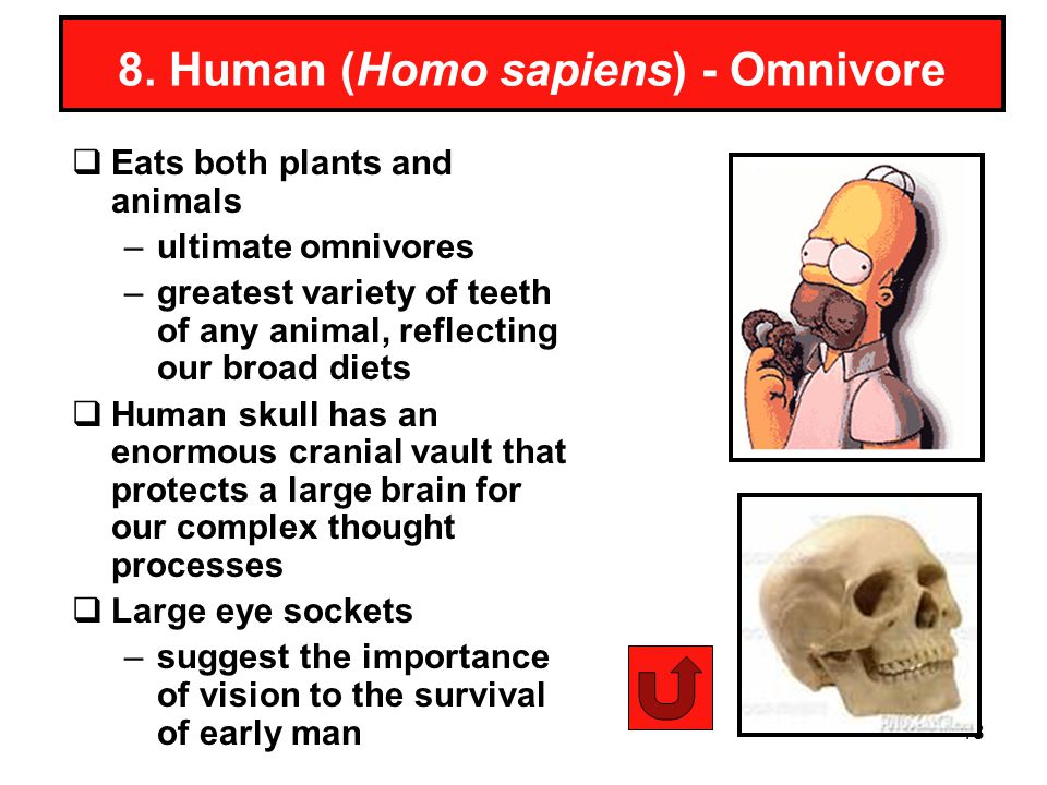 8. Human (Homo sapiens) - Omnivore