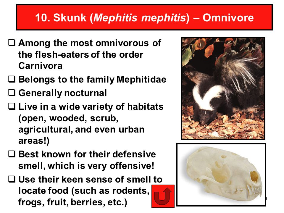 10. Skunk (Mephitis mephitis) – Omnivore