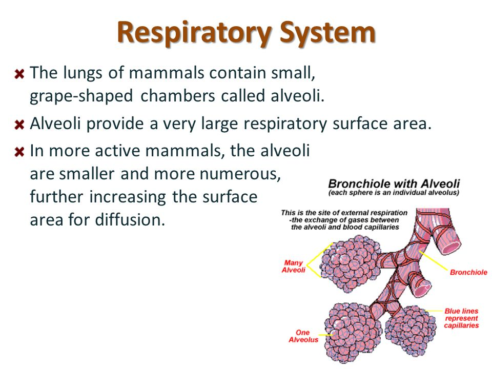 Respiratory System The lungs of mammals contain small, grape-shaped chambers called alveoli. Alveoli provide a very large respiratory surface area.