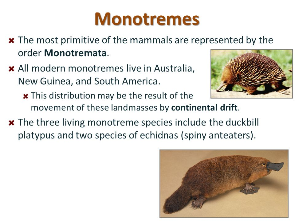 Monotremes The most primitive of the mammals are represented by the order Monotremata.
