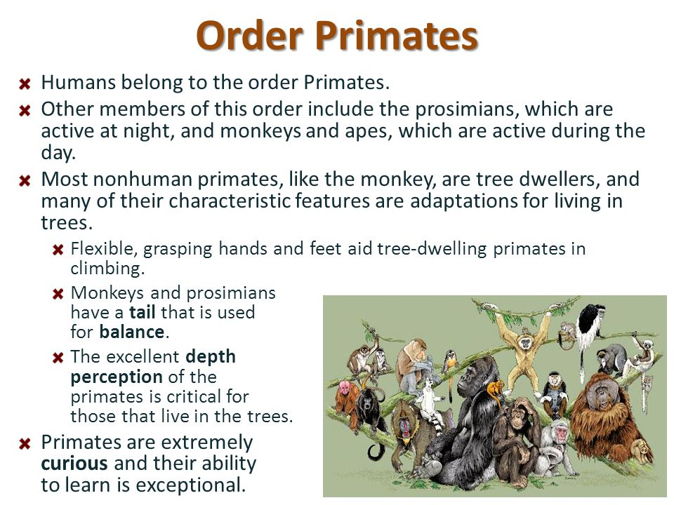 Order Primates Humans belong to the order Primates.