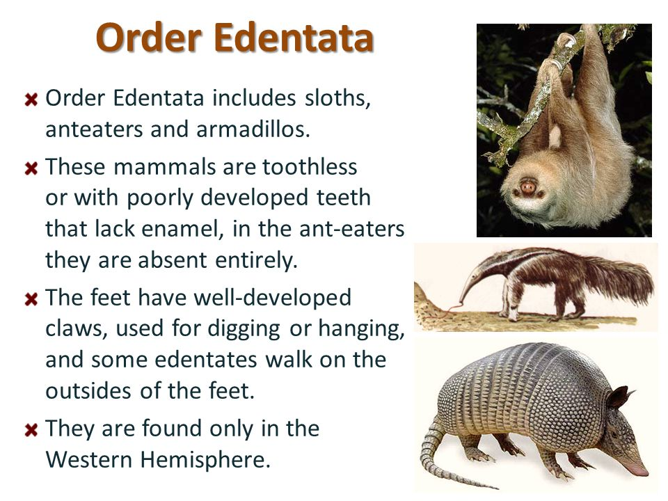 Order Edentata Order Edentata includes sloths, anteaters and armadillos.