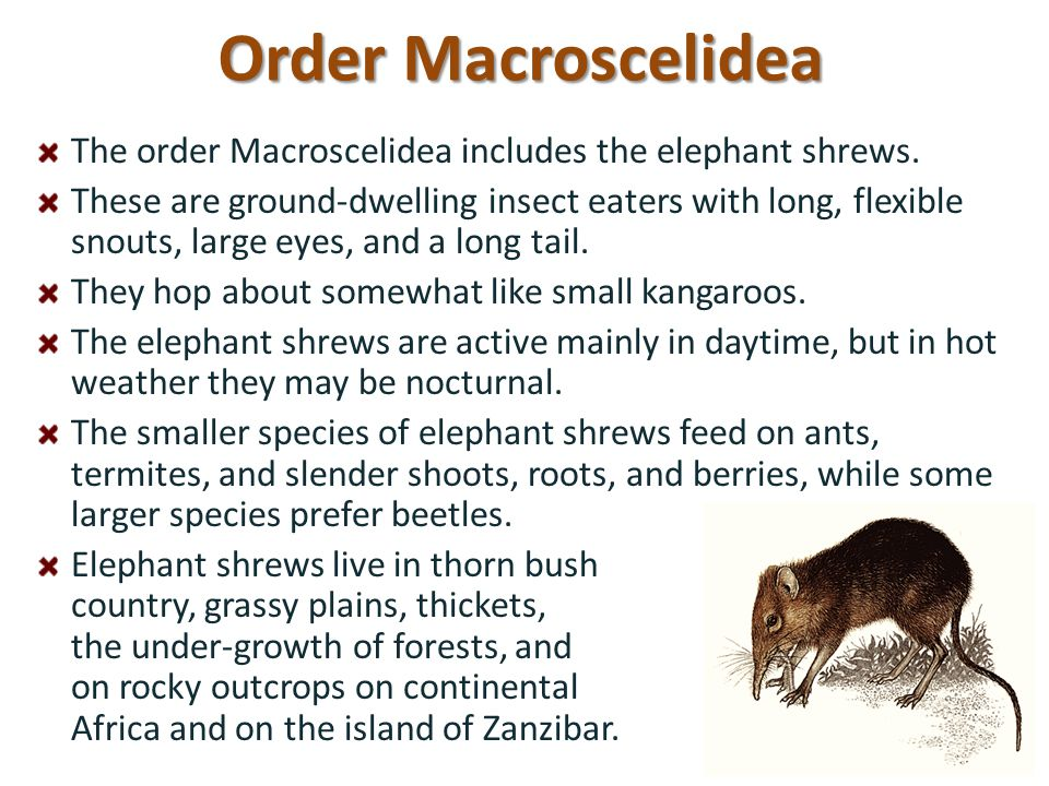 Order Macroscelidea The order Macroscelidea includes the elephant shrews.