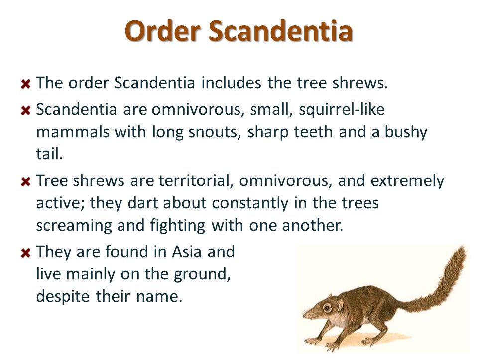 Order Scandentia The order Scandentia includes the tree shrews.