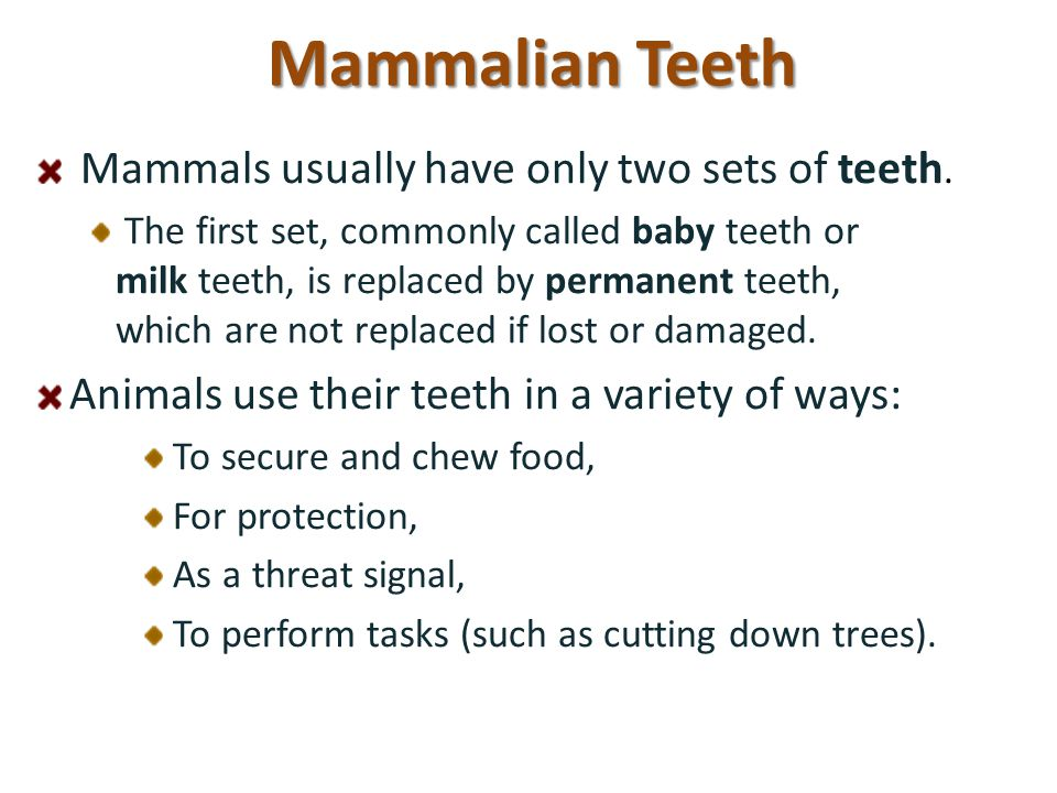 Mammalian Teeth Mammals usually have only two sets of teeth.