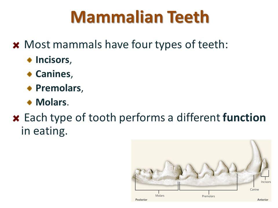 Mammalian Teeth Most mammals have four types of teeth:
