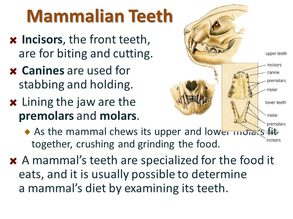 Mammalian Teeth Incisors, the front teeth, are for biting and cutting.