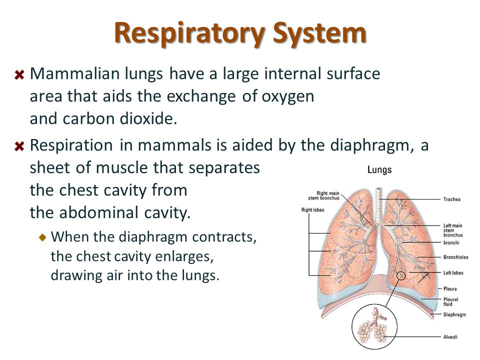 Respiratory System Mammalian lungs have a large internal surface area that aids the exchange of oxygen and carbon dioxide.