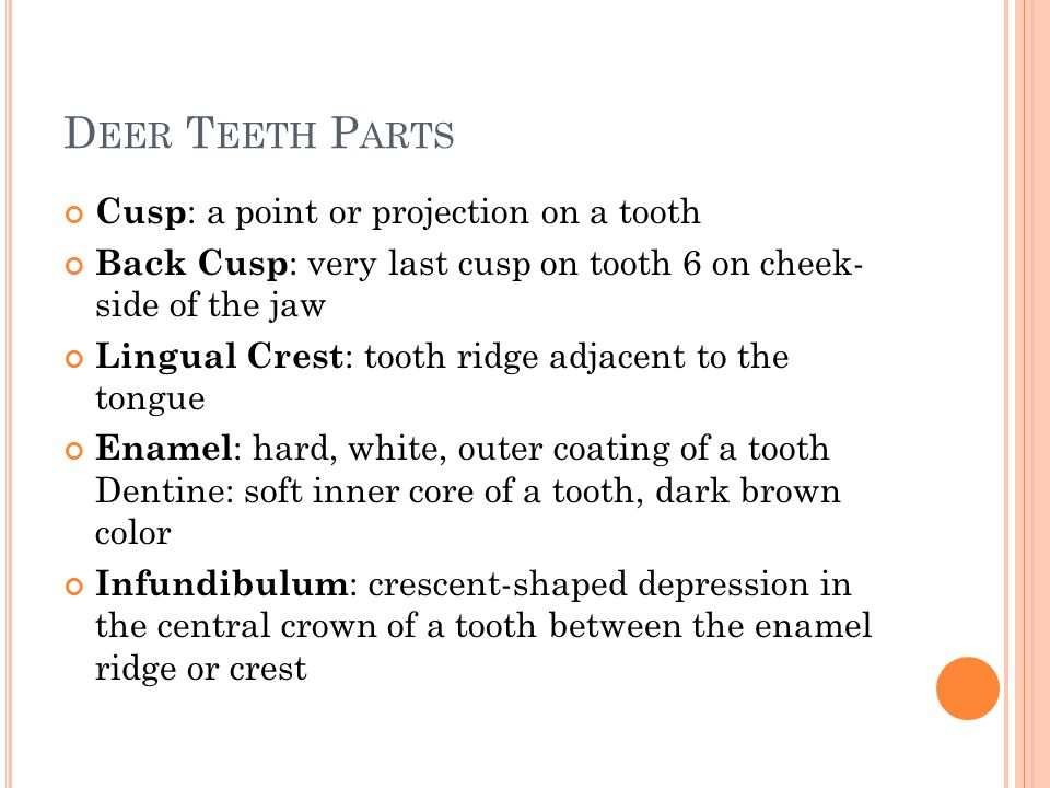 Deer Teeth Parts Cusp: a point or projection on a tooth