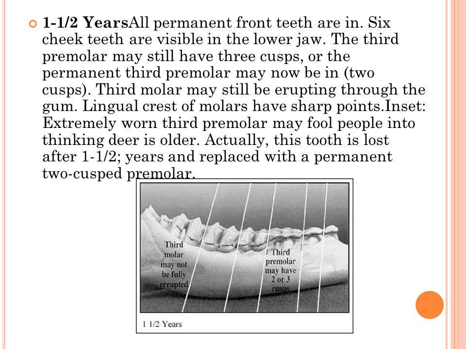 1-1/2 YearsAll permanent front teeth are in