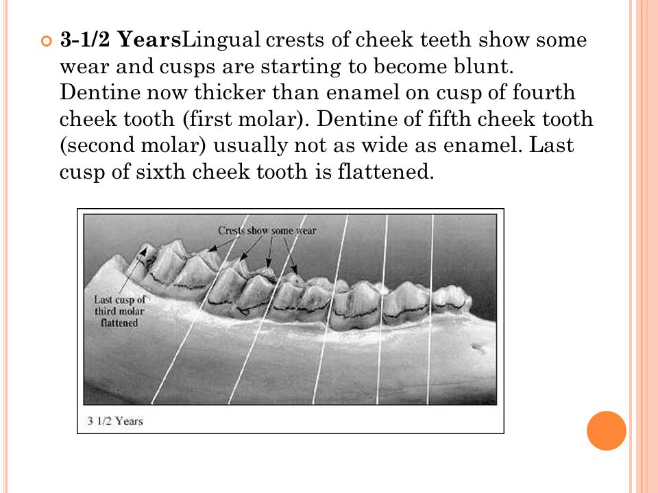 3-1/2 YearsLingual crests of cheek teeth show some wear and cusps are starting to become blunt.