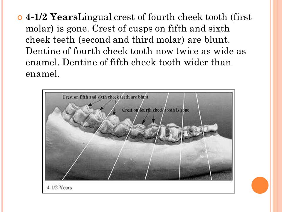 4-1/2 YearsLingual crest of fourth cheek tooth (first molar) is gone