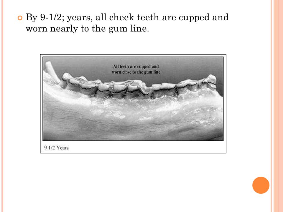 By 9-1/2; years, all cheek teeth are cupped and worn nearly to the gum line.