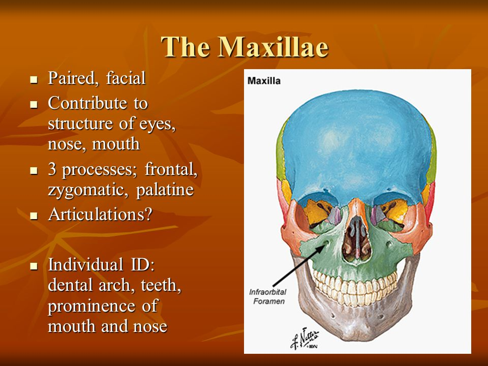 The Maxillae Paired, facial