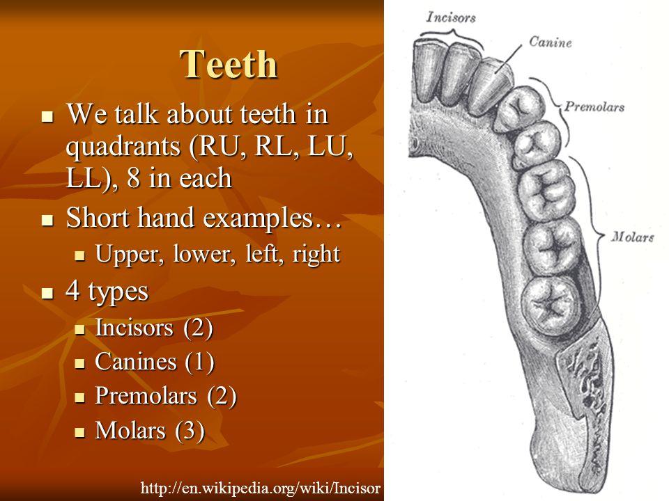 Teeth We talk about teeth in quadrants (RU, RL, LU, LL), 8 in each