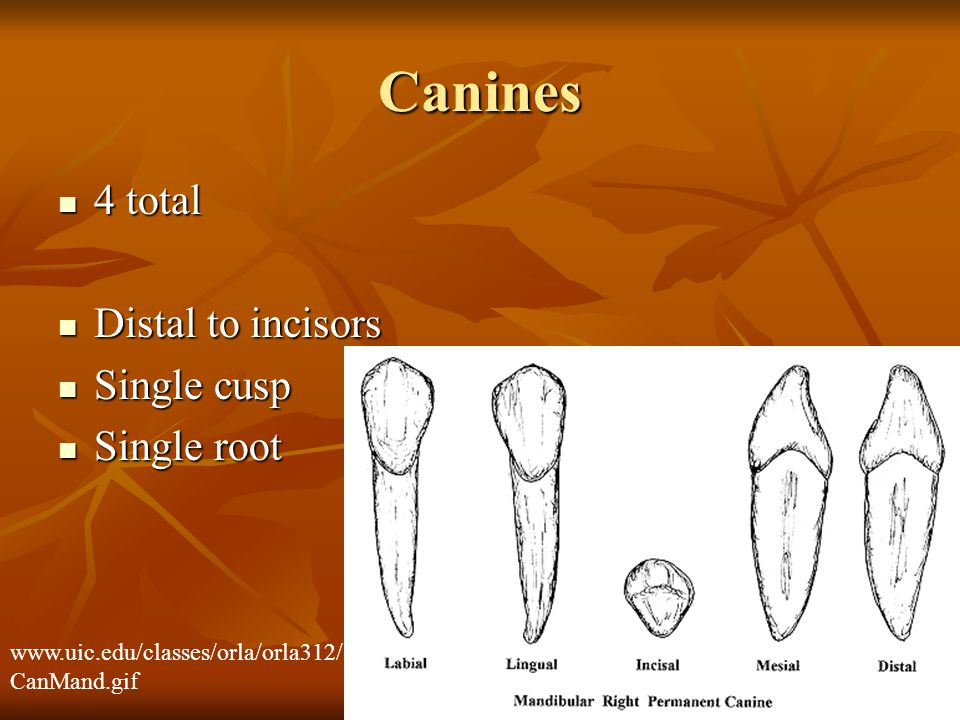 Canines 4 total Distal to incisors Single cusp Single root