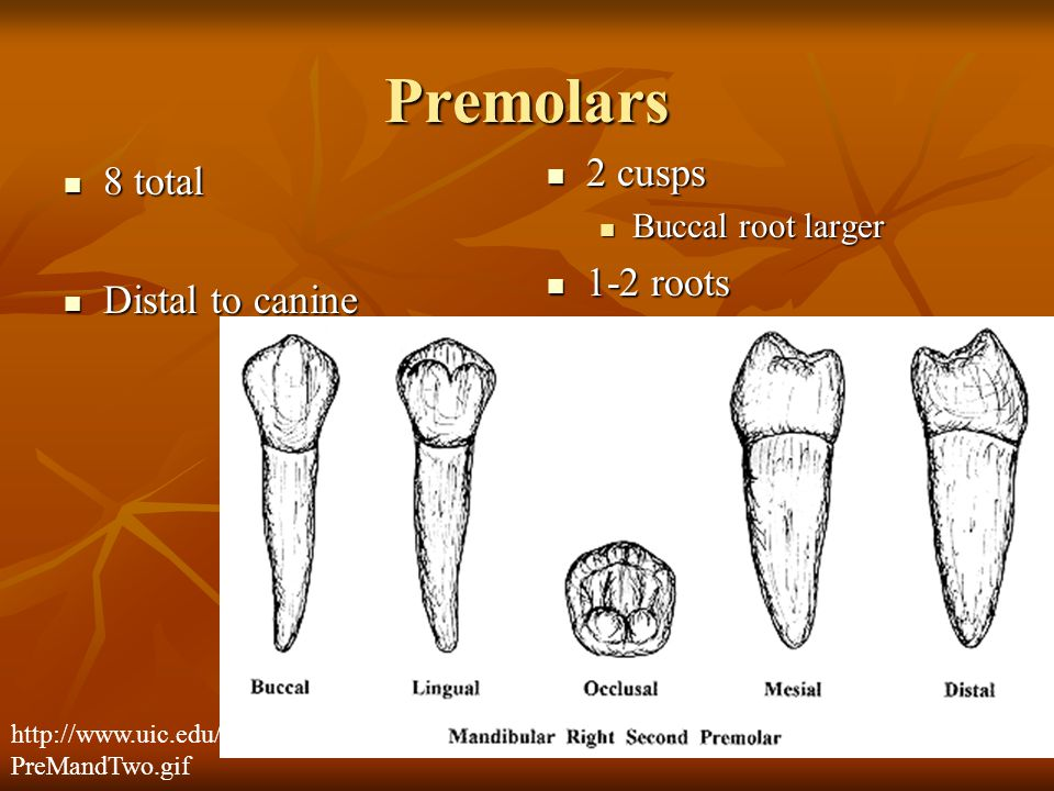 Premolars 2 cusps 8 total 1-2 roots Distal to canine