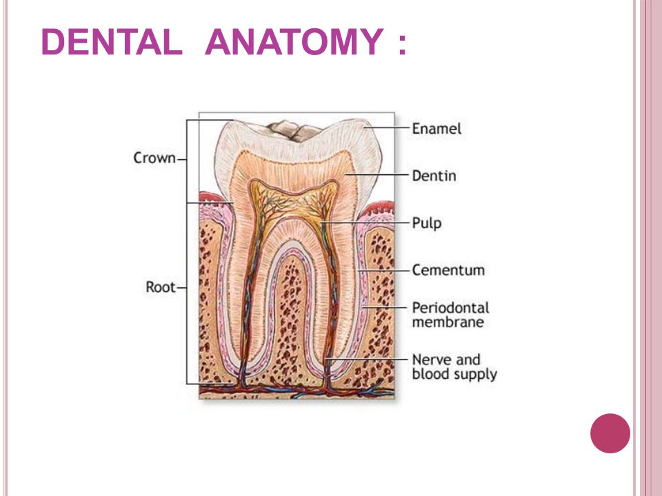 DENTAL ANATOMY :