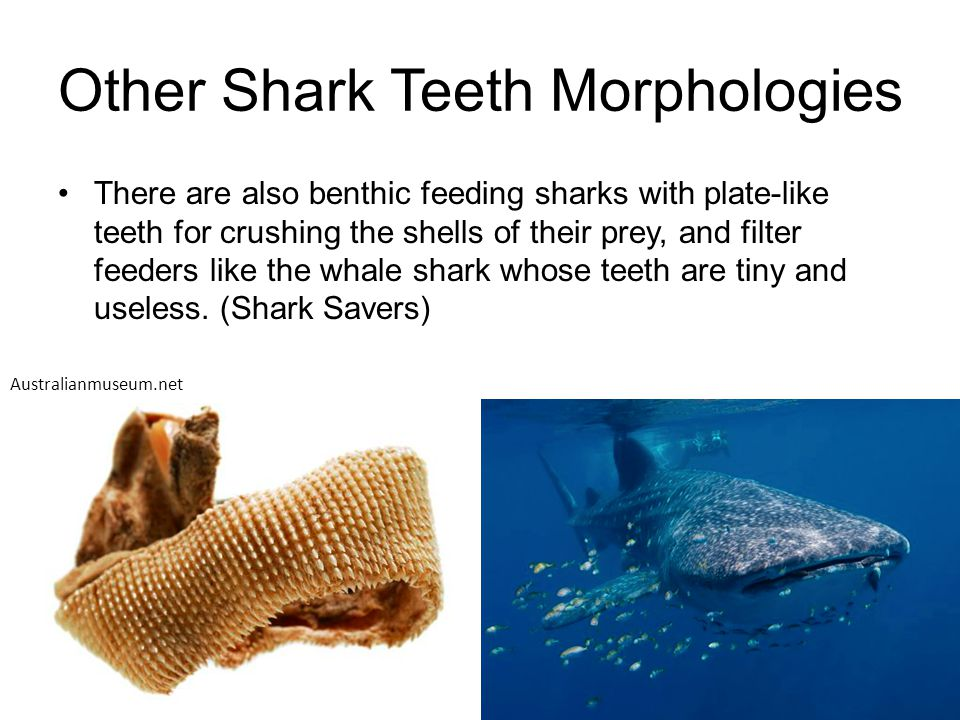 Other Shark Teeth Morphologies