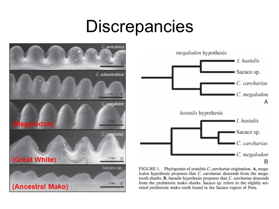 Discrepancies (Megalodon) (Great White) (Ciampaglio) (Ancestral Mako)