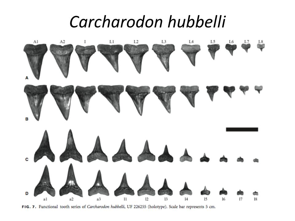 Carcharodon hubbelli