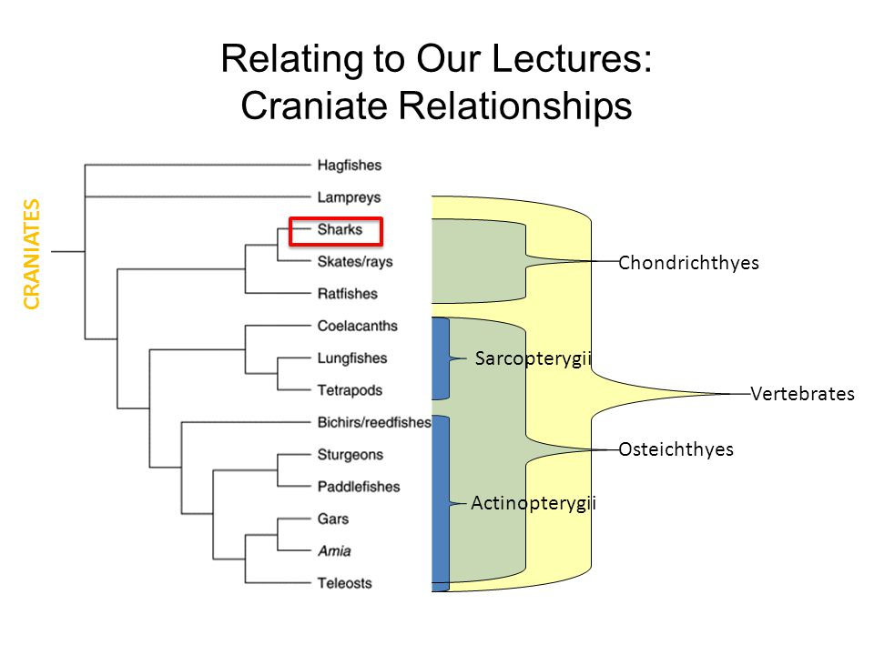 Relating to Our Lectures: Craniate Relationships