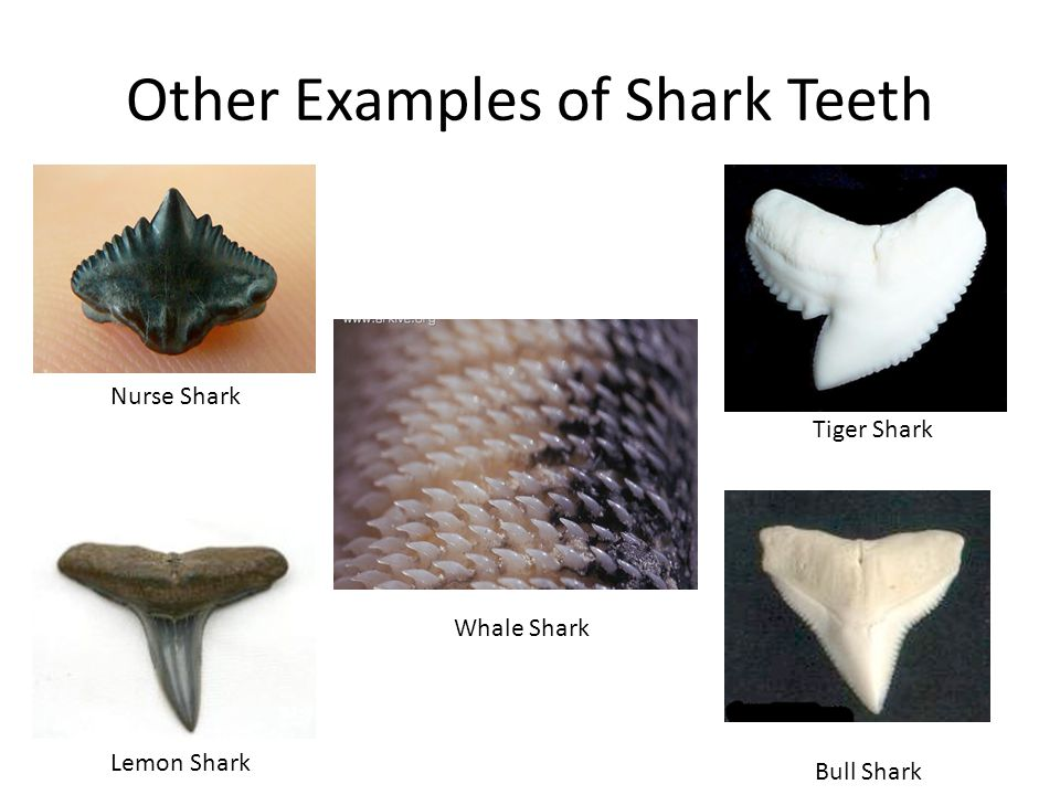Other Examples of Shark Teeth