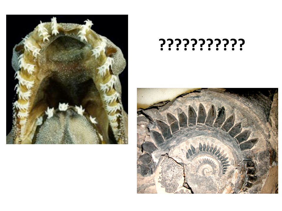Two unusual species Whorl: Smithsonian – Paleobio dept