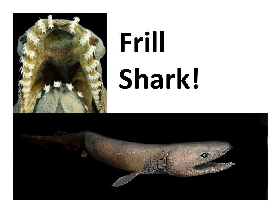 Frill Shark!
