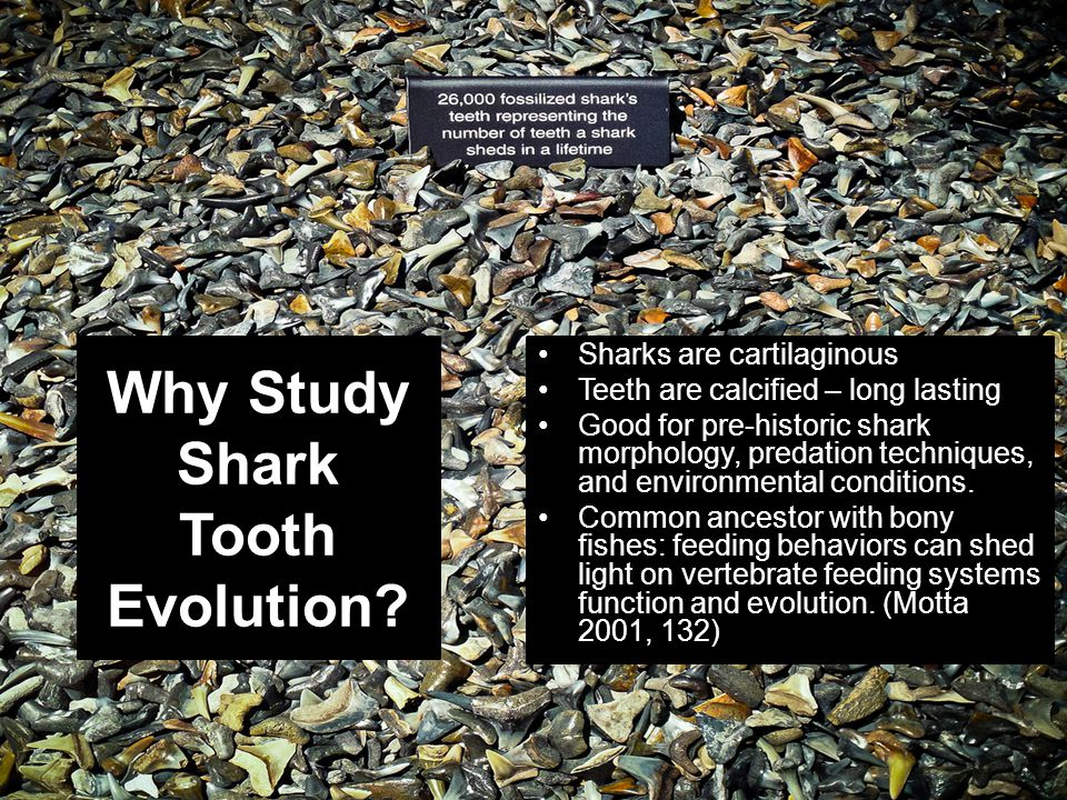 Why Study Shark Tooth Evolution
