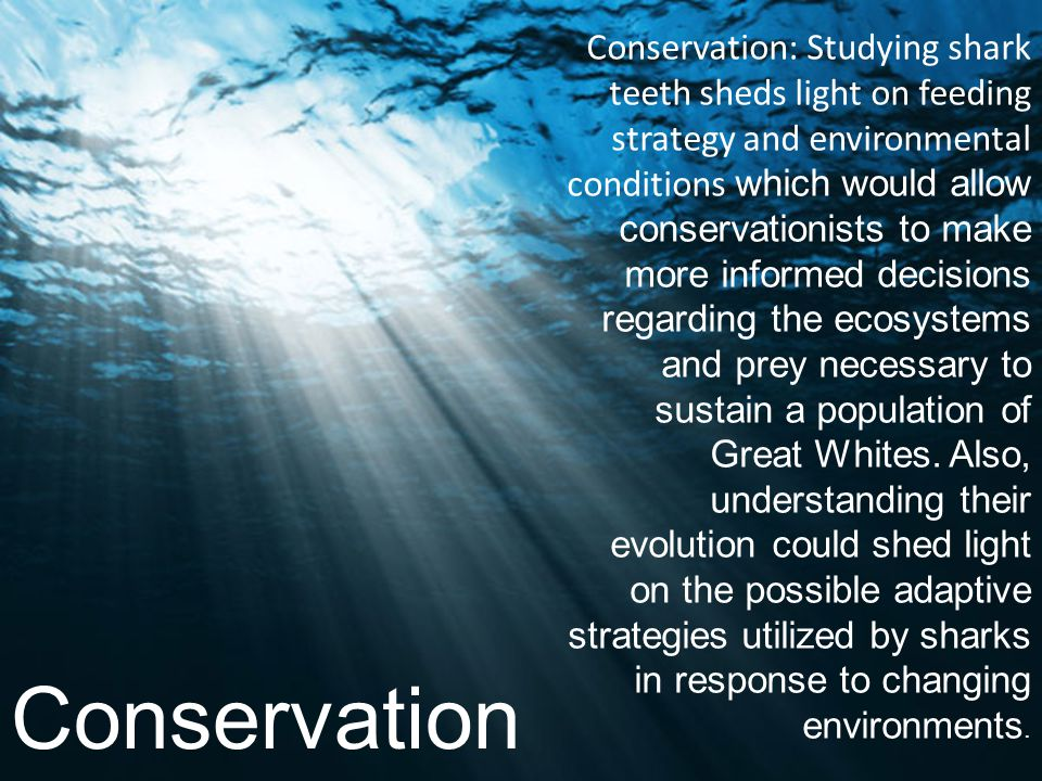 Conservation: Studying shark teeth sheds light on feeding strategy and environmental conditions which would allow conservationists to make more informed decisions regarding the ecosystems and prey necessary to sustain a population of Great Whites. Also, understanding their evolution could shed light on the possible adaptive strategies utilized by sharks in response to changing environments.