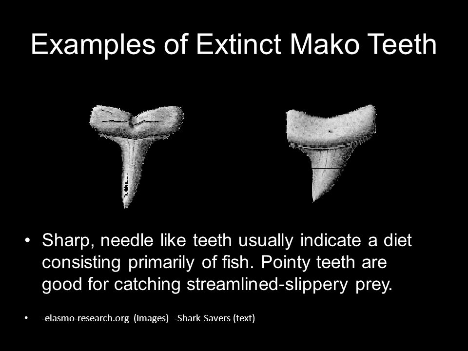 Examples of Extinct Mako Teeth