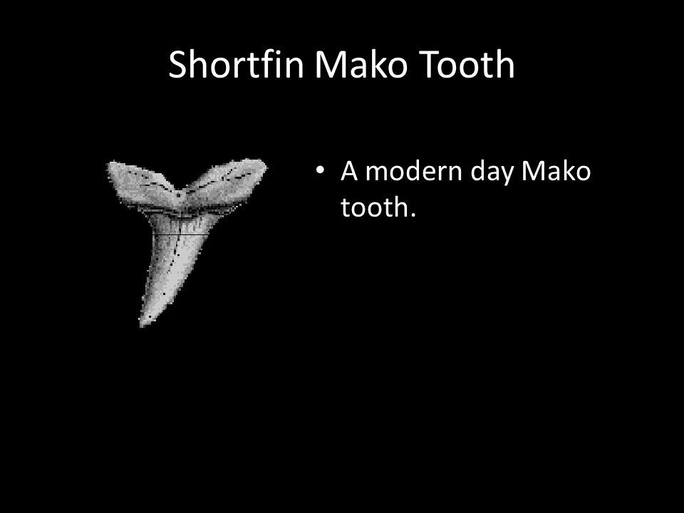 Shortfin Mako Tooth A modern day Mako tooth.