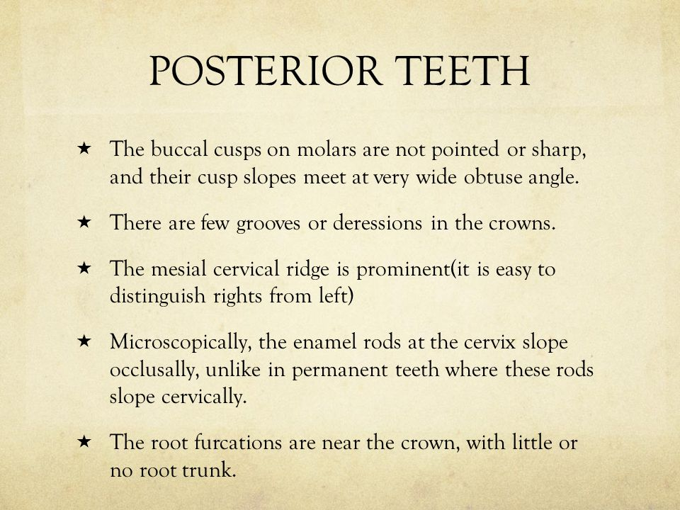 POSTERIOR TEETH The buccal cusps on molars are not pointed or sharp, and their cusp slopes meet at very wide obtuse angle.