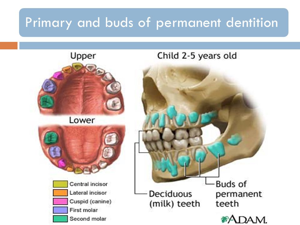 Primary and buds of permanent dentition