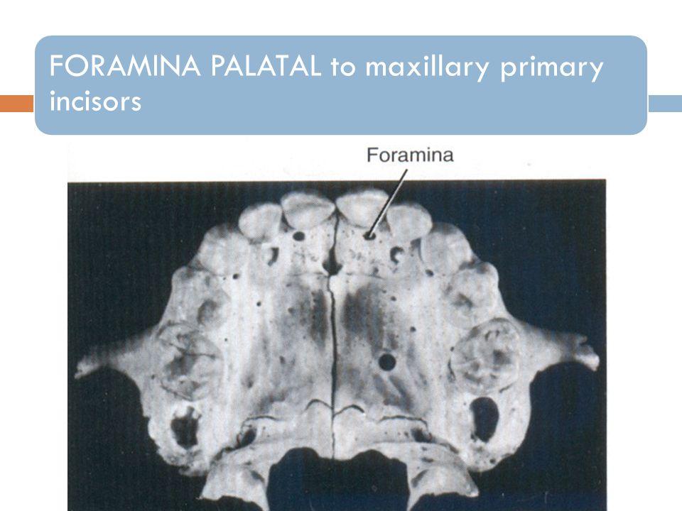 FORAMINA PALATAL to maxillary primary incisors