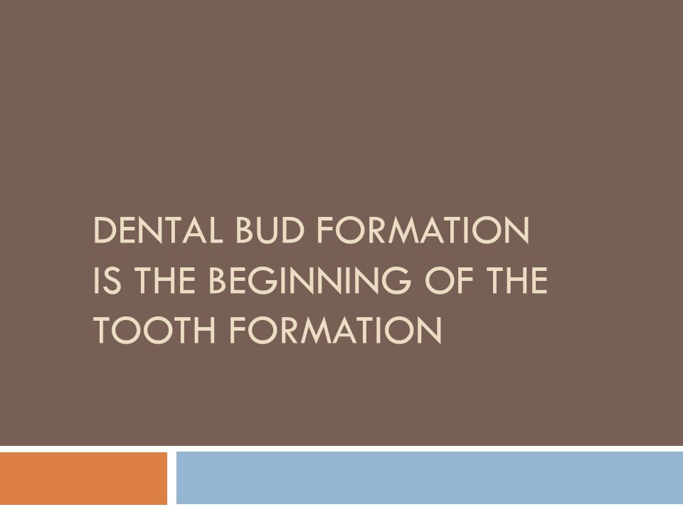 Dental bud formation is the beginning of the tooth formation