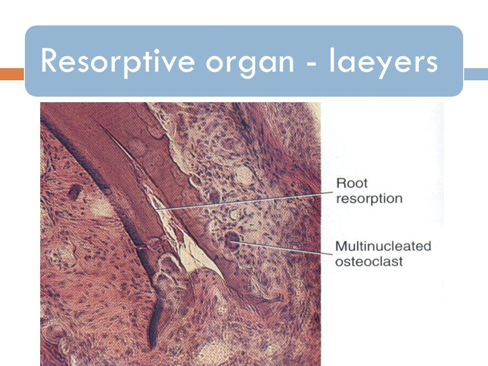 Resorptive organ - laeyers